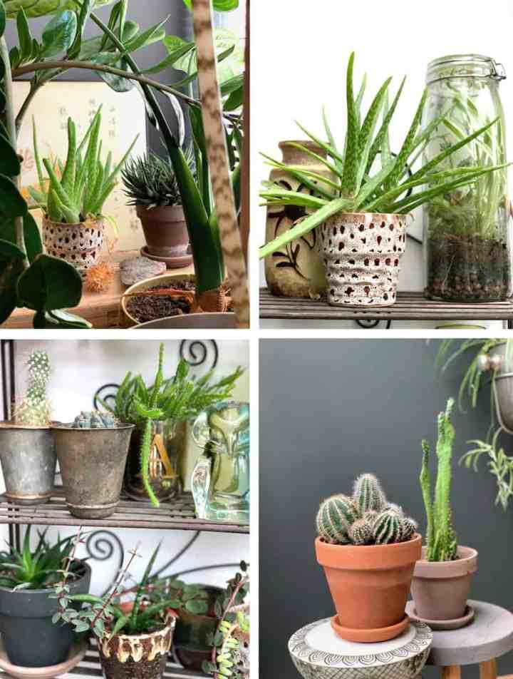cactussen-planten waar je geen omkijken naar hebt