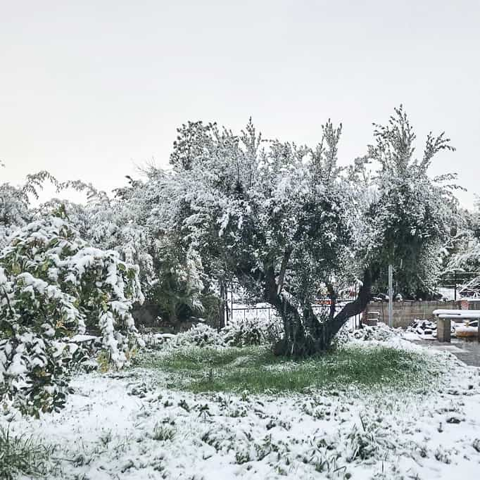 olive trees covered in snow