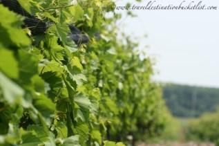 Vineyard in PEC