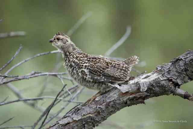 Nabesna Road Spruce Grouse