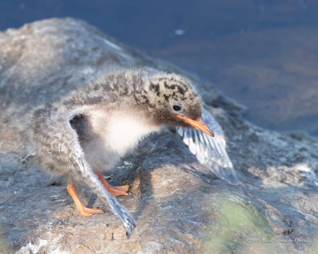 God uses the most humble of creatures, a helpless arctic tern chick, to teach me an important lesson. #birding #birdwatching #arctictern #chick #christian #relationship