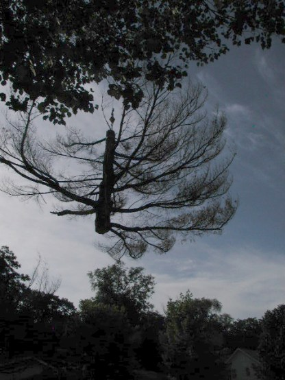 flying ... / white pine removal / photo