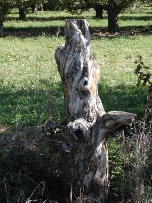 spirit apple tree 125 / photo