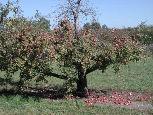 apple tree 128 / photo