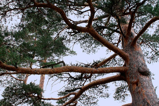 red_pine