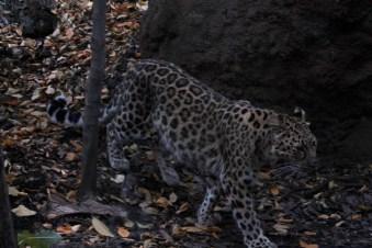 Genus Panthera