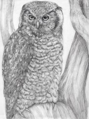 Hawk_Owl_drawing