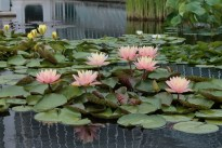 water-lilies_0195-1