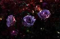 lilac_rose_1934