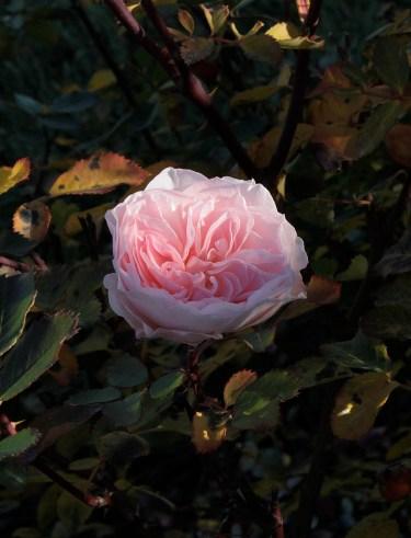 pink_rose_1937b