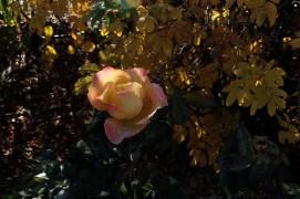 yellow_pink_rose_1944