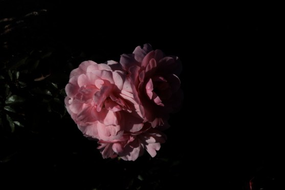 pink_rose_1955