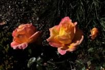 yellow_pink_rose_1976