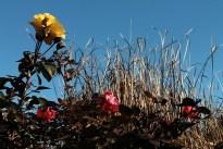 rose_landscape_1989