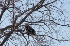 eagle_2091