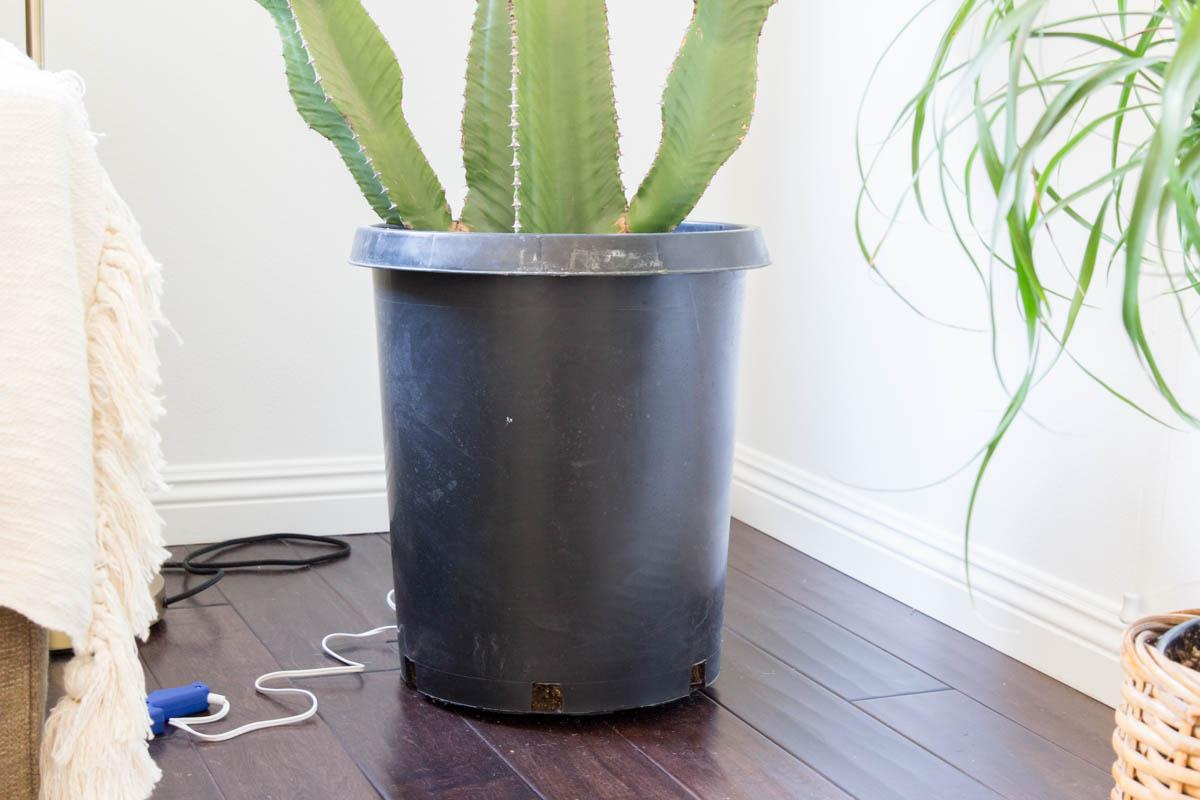 large cactus in black pot
