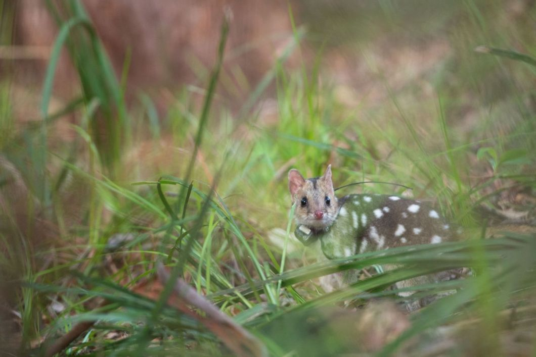 Eastern quoll in Booderee National Park after being released. Rewilding Australia, with support from WWF-Australia and in collaboration with a number of partners have attempted the first wild reintroduction of eastern quolls since their mainland extinction last century.  20 eastern quolls were flown from Tasmania to Jervis Bay and released into Booderee National Park for wild reintroduction in March 2018. Partners include: Rewilding Australia, WWF-Australia, Devils@Cradle, Trowunna Wildlife Sanctuary, the Taronga Conservation Society and Shoalhaven Landcare.