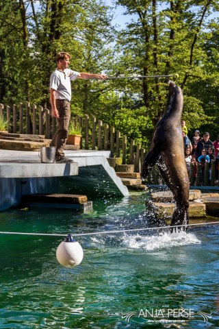 Sea lion jumping.