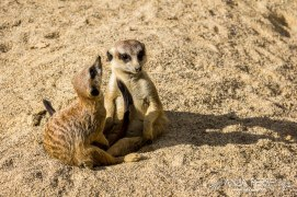 Two suricates in love.