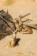 Four suricates
