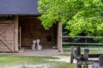Alpacas in a barn.