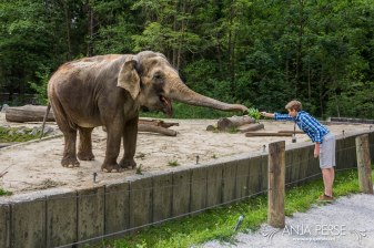 Feeding the elephant.