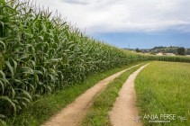 Country road along the corn