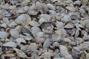 A beach full of sea shells