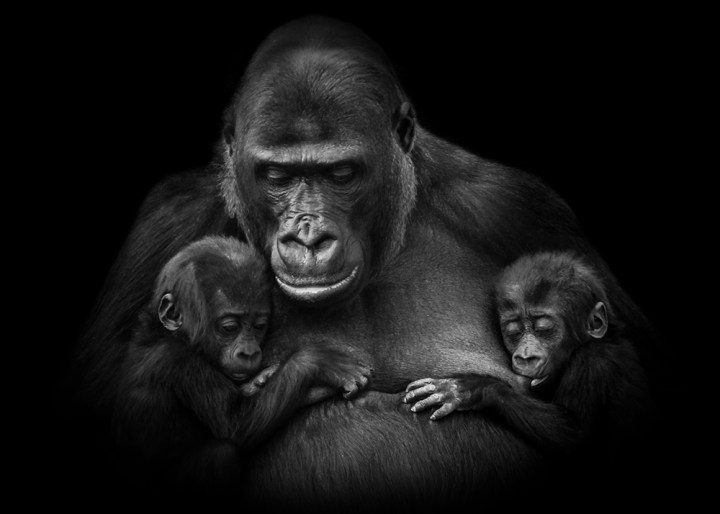 Gorilla with twins in Burgers Zoo