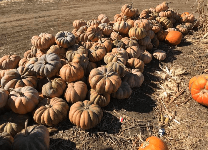 """""""Pumpkin Patching""""… is that a verb?"""