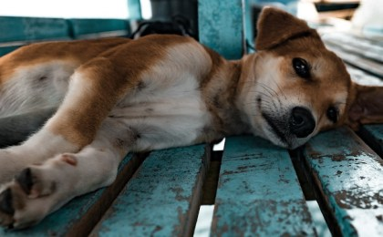 Placebo by proxy Jin Shin Jyutsu - entspannter Hund