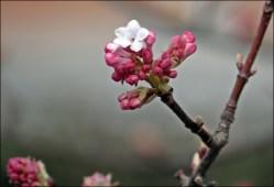 Kejsarolvon - blommar nu