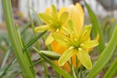 Vårlök... en vild vårblomma som trivs tillsammans med krokusarna i rabatten...