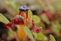 Blå ståndare på min Fuchsia procumbens (hittar inget svenska namn)