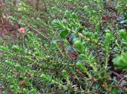 Kråkbär, här med ett par gröna omogna bär, som när de mognar blir mörkblå, nästan svarta.
