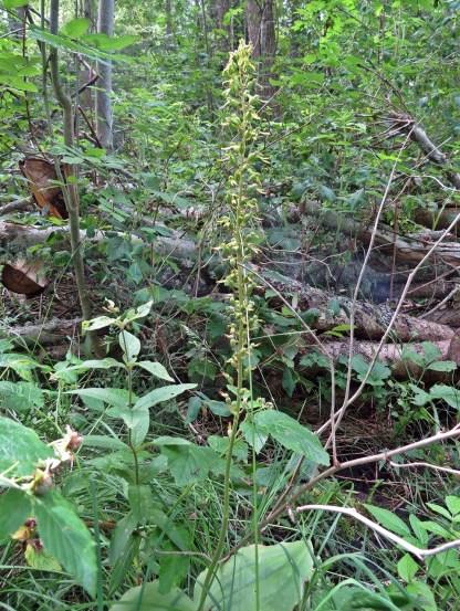Orkidén tvåblad finns på flera ställen, men är svår att upptäcka - oftast riktigt kamouflerad i grönskan
