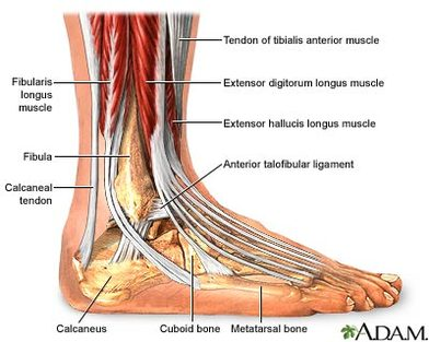 Image result for the ankle