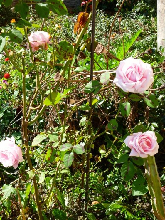 "Rose ""Frederic Mistral"""