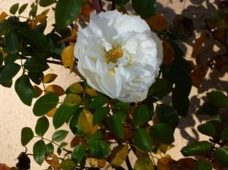 Rose vor dem Fenster