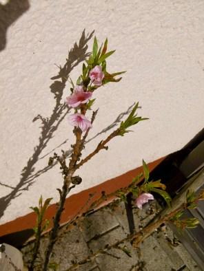 am 31.3. die ersten Pfirsichblüten