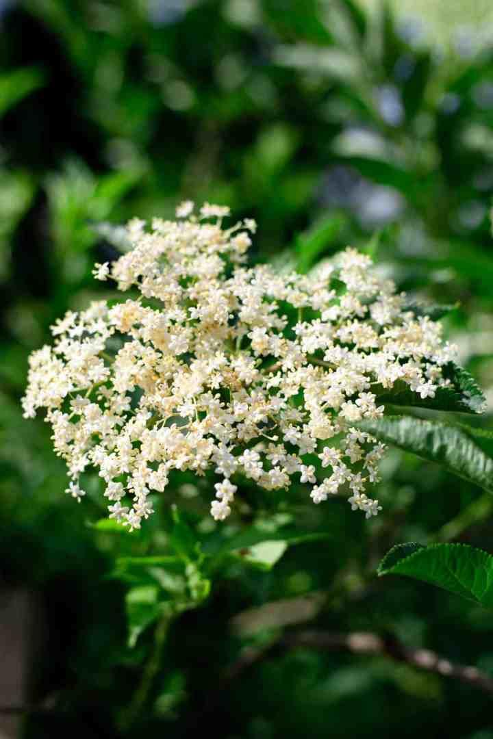 Classic elderflower cordial recipe #elderflower #cordial #summerdrink   via @annabanana.co