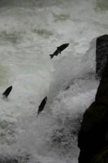Salmon jumping up the waterfall at Beaver Creek, Vancouver Island