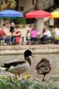 Ducks on the San Antonio Riverwalk, Texas