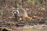 Racoon on the swamp tour in Slidell, Louisiana
