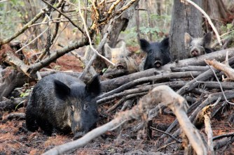 PIGS on the swamp tour in Slidell, Louisiana