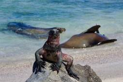 Marine iguana (with sea lions in the background) on Floreana Island, Galapagos