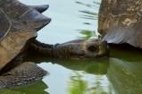 Giant land tortoise on Santa Cruz Island, Galapagos
