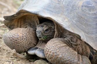 Giant land tortoise on San Cristobal Island, Galapagos