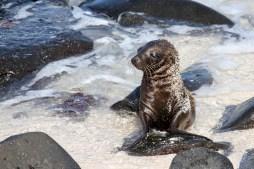 Baby sea lion looking tired on Espanola Island, Galapagos