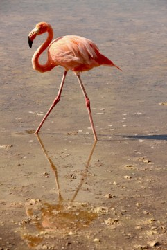 Flamingo on Floreana Island, Galapagos